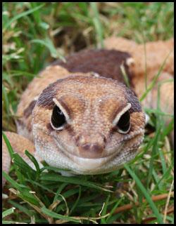 FTGecko-a