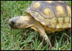 GTortise-a