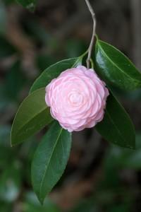 camellia_blossom-jdixon.resize