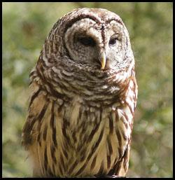 owl at raptor center