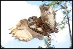eagle owl in flight