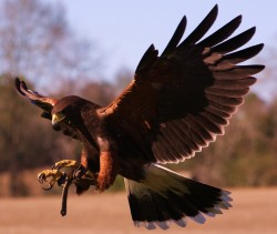 hawk at raptor center