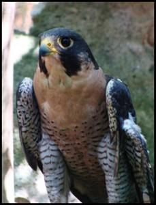 peregrine falcon at raptor center