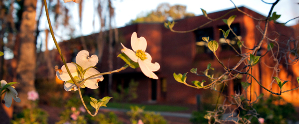blooming dogwood trees with a brick building in the background